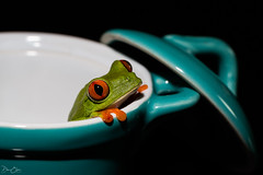 A frog in a tea-cup... (Dan Elms Photography) Tags: danelms danelmsphotography wwwdanelmsphotouk reptile reptiles nature animal essexreptileencounters frog redeyedtreefrog treefrog macro