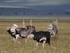 Common Ostrich Struthio camelus massaicus (nik.borrow) Tags: bird ostrich ngorongoro