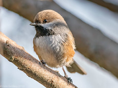 Boreal Chickadee (Gene Herzberg) Tags: borealchickadee