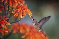2019 Hummer # 12 (Tongho58) Tags: huntingtonbeach hummer hummingbirds secretgarden