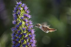 2019 Hummer # 11 (Tongho58) Tags: huntingtonbeach hummer hummingbirds secretgarden