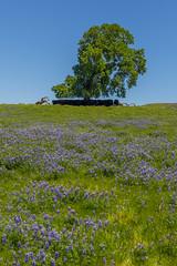 North Table Mountain Wildflowers (Charlie Lee.) Tags: california northerncalifornia norcal 캘리포니아 미국 미국서부 westcoast unitedstatesofamerica usa northamerica tablemountain buttecounty northtablemountainecologicalreserve basalticplateau plateau wildflower vernalpool