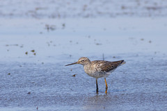 Standing alone in the marsh (Jonah P.) Tags: bird sea ocean nature environment green blue white outdoors flying food duck coth5 beach tree newjersey statepark edwinbforsythe national wildliferefuge greateryellowlegs marshpiper