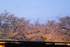 at During the hallucination (hitsujida) Tags: canon g7xmkii ordinary everyday city town flower koyo 街 日常 京都 花