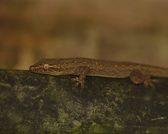 Gecko under a bridge (Yani Dubin) Tags: gold gecko sigma brown 180mmf28exdgoshsmapomacro lizard reptile macro macrophotography malaysia color animal green d850 langkawi black nature lubuksemilang colour