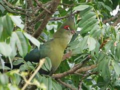 Schalow's Turaco Tauraco schalowi (nik.borrow) Tags: bird turaco ngorongoro