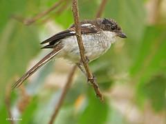Northern Fiscal Lanius h. humeralis (nik.borrow) Tags: bird fiscal shrike ngorongoro