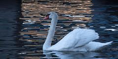 Swan (1 of 1) (jasonwilson233) Tags: swan bird wildlife animal nature outdoors water lake river portcredit port credit ontario canada beauty elegance pride nikon adobe lightroom digital sunset reflection outside