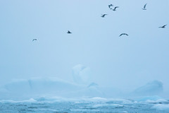 Jökulsárlón Gulls II (craig.denford) Tags: jökulsárlón glacial lagoon glacier iceland gull craig denford canon 7d mark ii manfrotto