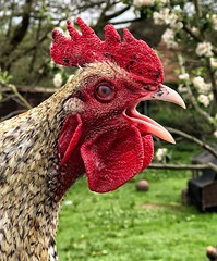 Your Alarm Call Sir (Mr_Pudd) Tags: allotment grass eye feathers red leeds meanwood cockerel chicken