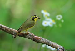 Kentucky Warbler (geno k) Tags: kentuckywarbler tennessee warblerwhisperer spring tennesseindividualworkshop 4232019
