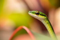 Green parrot snake (KarsKW) Tags: reptiles reptilia repti herpeto herping costa rica karskw wildlife animals nature animalia batan limon matina beautiful sharp canon eos 750d green lush jungle rainforest animal