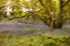 Windswept (Sue_Hutton) Tags: april2019 burleighwoods loughborough spring ancientwoodland bluebells icm