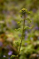 Unfurling Fern (Sue_Hutton) Tags: april2019 burleighwoods loughborough spring ancientwoodland bluebells