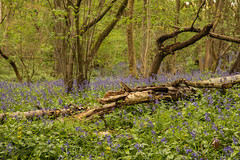 Fallen Wood (Sue_Hutton) Tags: april2019 burleighwoods loughborough spring ancientwoodland bluebells