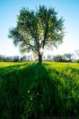 pear tree (violafoto ♫) Tags: tree germany spring beautiful nikon d750 samyang14mmxp deutschland badenwürttemberg frühling birnbaum wiese grün green meadow evening abend hgviolafoto sunset sonnenuntergang schatten shadow backlight gegenlicht buga bundesgartenschau