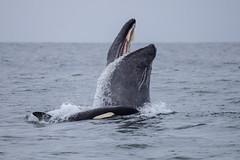 Killer Whale predation on Gray Whale (toryjk) Tags: mbww monterey montereybay montereybaywhalewatch whale wildlife whalewatching predation predator killerwhale killer murder orac orcinusorca nature