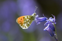 Orange Tip on a Bluebell (Tim Melling) Tags: orange tip butterfly anthocharis cardamines bluebell bokeh deffer wood south yorkshire timmelling