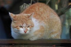 IMGP7519 (PahaKoz) Tags: весна фауна котейка котэ кот животное spring fauna tomcat cat red рыжий