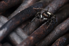 The Wicker Spider, Pt. 2 - _TNY_4060 (Calle Söderberg) Tags: macro canon canon5dmkii canoneos5dmarkii canonef100mmf28usmmacro canon5dmarkii 5d2 flash meike mk300 glassdiffusor raynox dcr250 spider spindel jumpingspider jumper springspinne spinne hoppspindel salticidae arachnida araneae hasarius adansoni adansonshousejumper black cute kawaii redglasses vietnam phuquoc mercuryphuquocresortvillas wicker f19 saltie araneomorphae