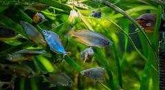 friendly fish (severalsnakes) Tags: 110gallons kansas kansascity m13535 pentax saraspaedy aquarium barb danio filament fish k1 manual manualfocus mascarabarb pentaxforums pentaxforumscom rainbowfish singleinchallenge tank