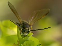 Crabronidae, Argogorytes (Iyp-tala) Tags: crabronidae argogorytes