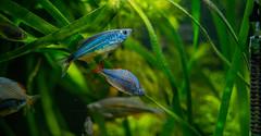danio drama (severalsnakes) Tags: 110gallons kansas kansascity m13535 pentax saraspaedy aquarium barb danio filament fish k1 manual manualfocus mascarabarb pentaxforums pentaxforumscom rainbowfish singleinchallenge tank