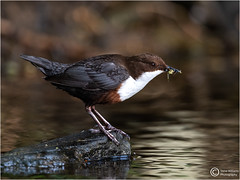 DIPPER WITH CATCH (d1ngy_skipper) Tags: derbyshire dipper waterbirds waders wildlife whitepeak waterfowl peakdistrict hipper britishwildlife britishbirds europeanwildlife englishnature europeanbirds