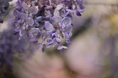 After the rain (pierfrancescacasadio) Tags: aprile2019 22042019840a9144 50mm wisteria glicine bokeh ape bee aftertherain