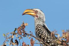 Toco Piquigualdo Sureño (ik_kil) Tags: tocopiquigualdosureño southernyellowbilledhornbill tockusleucomelas krugernationalpark kruger southafrica