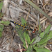 Ornate Pennant - Celithemis ornata, Blackwater Wildlife Management Area, Holt, Florida
