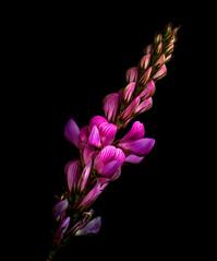 Mountain Sainfoin- Onobrychis montana (loveexploring) Tags: alps france frenchalps guilvalley mountainsainfoin onobrychismontana onobrychisviciifoliasubspmontana queyras sainfoinmontagnard alpineflower alpineplant blackbackground flower macro pink plant wildflower