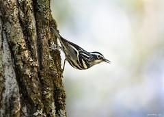 Black and White Warbler (swmartz) Tags: nikon nature newjersey outdoors wildlife birds blackandwhite warbler april 2019 d610 200500mm