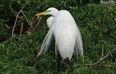 I got your back (Shannon Rose O'Shea) Tags: shannonroseoshea shannonosheawildlifephotography shannonoshea shannon greategret egret bird beak feathers wings white nature wildlife waterfowl leaves trees branches breedingplumage plumage plumes ardeaalba alligatorbreedingmarshandwadingbirdrookery gatorland orlando florida gatorlandbirdrookery rookery art photo photograph photography wild wildlifephotography wildlifephotographer wildlifephotograph shootlikeagirl shootwithacamera throughherlens femalephotographer girlphotographer womanphotographer camera canon canoneos80d canon80d canon100400mm14556lisiiusm eos80d eos 80d canon80d100400mmusmii 2019 canon80dbirds 80dbird outdoors outdoor outside colorful colourful closeup close birdphotographer naturephotographer