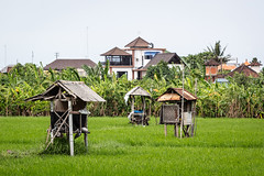 Class distinction (A Different Perspective) Tags: bali corrugated field green house hut jungle rice rust sawah skyline worn