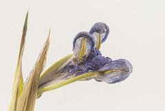 Iris 04 (explored) (jolynne_martinez) Tags: iris irises flower flowers purple wilting wilted isolated macro flickraward explored explore