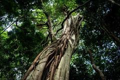 Ficus watkinsiana (dustaway) Tags: mounttamborine moraceae tamborinemountain ficuswatkinsiana stranglingfig nipplefig australiantrees australianrainforestplants tamborinemountainnationalpark subtropicalrainforest arfp subtropicalarf qrfp nswrfp