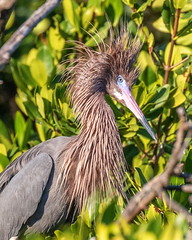 Reddish Egret Impressing Its Mate (dbadair) Tags: outdoor egret nature wildlife 7dm2 ef100400mm canon florida bird