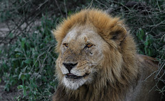 Starting The New Week ... (AnyMotion) Tags: lion löwe pantheraleo male mondayface montagsgesicht 2018 anymotion ndutu ngorongoroconservationarea tanzania tansania africa afrika travel reisen animal animals tiere nature natur wildlife 7d2 canoneos7dmarkii portrait porträt porträtaufnahmen npc