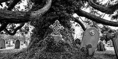 The Arising (paulchapmanphotos) Tags: easton gordano bristol dead centre tree graveyard panorama black white leica m246 summilux 21mm f14 monochrom