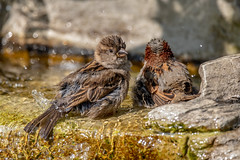 Save water - bath with a friend! (Linda Martin Photography) Tags: bird dorset sparrow passerdomesticus wildlife ferndown uk garden coth coth5 alittlebeauty naturethroughthelens ngc specanimal