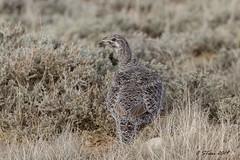 IMG_8801 female sage grouse (starc283) Tags: starc283 nature natures finest watcher bird birding birds flickr flicker wildlife lek sage grouse sagegrouse naturewatcher naturesfinest