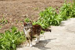 cat (NEKOFighter) Tags: cat neko nikon japan d500 animal 猫