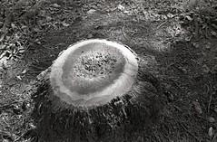 stump (miya_moto) Tags: kodak retinaiia schneider xenon ilford hp5 bw 135