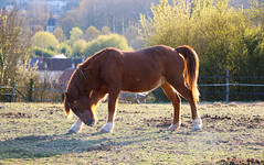 In the light (pascal445) Tags: horse cheval light spring france travel europe sunset coucherdesoleil nature animal rural chevaux
