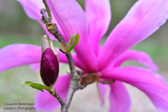 Pink! HMM!! (lauren3838 photography) Tags: laurensphotography lauren3838photography macro flower magnolia pink nikon d750 baltimore md maryland marylandphotographer closeup 60mmmicronikkor nature ilovenature cylburn