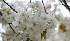 117 Blossom (Conanetta) Tags: