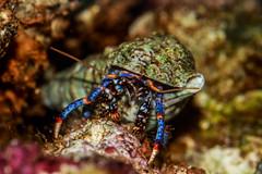 Beauty In The Eyes Of A Hermit (Mark Wasteney) Tags: macromondays hmm eyeofthebeholder hermitcrab crustacean shell marine water sealife underwater aquarium