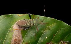 Leaf-footed Bug, Coreidae (Ecuador Megadiverso) Tags: andreaskay citynaturechallenge coreidbug coreidae ecuador hemiptera heteroptera leaffootedbug pentatomomorpha tena truebug