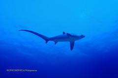 Long Tail (kayak_no1) Tags: nikon d800e nauticamhousing 1635mmafsf4gedvr underwater underwaterphotography wa wideangle diving scubadiving uw malapascua philippines cebu shark threshershark blue outside water nature green landscape sea